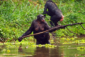 Bonobo (Pan paniscus) female carrying young using a branch to reach food plants in water, Lola Ya Bonobo Sanctuary, Democratic Republic of Congo. October.  -  Anup Shah