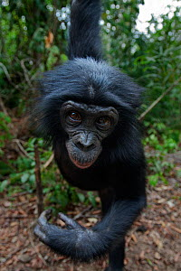 Bonobo (Pan paniscus) adolescent male reaching out from a tree, portrait, Lola Ya Bonobo Sanctuary, Democratic Republic of Congo. October.  -  Anup Shah