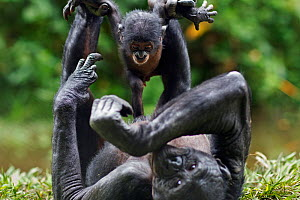 Bonobo (Pan paniscus) female baby aged 3 months playing with her mother, Lola Ya Bonobo Sanctuary, Democratic Republic of Congo. October. - Anup Shah
