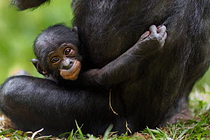 Bonobo (Pan paniscus) female baby aged 3 months sitting with her mother (Pan paniscus). Lola Ya Bonobo Sanctuary, Democratic Republic of Congo. October.  -  Anup Shah
