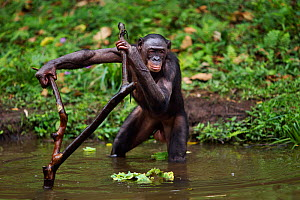 Bonobo (Pan paniscus) female using a branch to support herself in the water, Lola Ya Bonobo Sanctuary, Democratic Republic of Congo. October.  -  Anup Shah