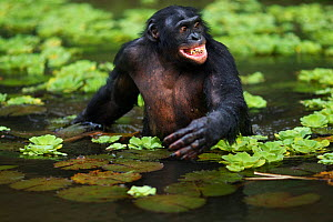 Bonobo (Pan paniscus) mature male 'Manono' wading through water searching for food, Lola Ya Bonobo Sanctuary, Democratic Republic of Congo. October.  -  Anup Shah