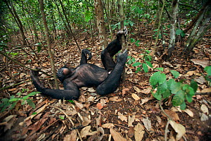Bonobo (Pan paniscus) mature male 'Tembo' relaxing in forest, Lola Ya Bonobo Sanctuary, Democratic Republic of Congo. October.  -  Anup Shah