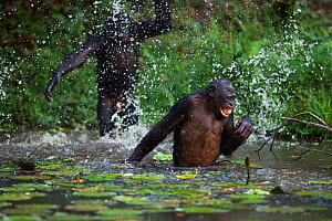 Bonobo (Pan paniscus) adolescent male throwing water over an adult male, Lola Ya Bonobo Sanctuary, Democratic Republic of Congo. October.  -  Anup Shah