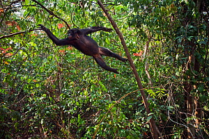 Bonobo (Pan paniscus) adolescent male leaping through the trees, Lola Ya Bonobo Sanctuary, Democratic Republic of Congo. October. - Anup Shah