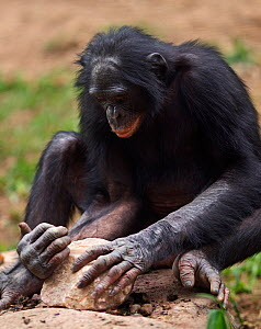 Bonobo (Pan paniscus) male using a rock to crack open nuts, tool use, Lola Ya Bonobo Sanctuary, Democratic Republic of Congo. October. - Anup Shah