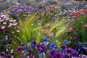 Mixed cornflowers (Centaurea cyanus) in garden with wild Barley plants growing as weeds, Val de Loire, France, June - Jean E. Roche