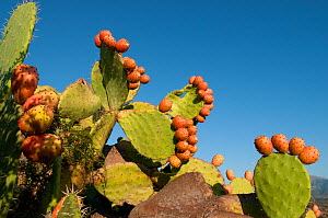 Prickly pear cactus fruit (Opuntia sp), Ostriconi, Agriate, Corsica, France, September - Jean E. Roche