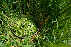 Salad collected in the wild including, Daisy and other edible leaves, Loire, France, April  -  Jean E. Roche