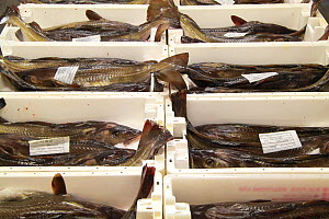 Large Cod (Gadus) laid out in fishboxes ready for auction, Peterhead, Scotland, July 2011. - Philip Stephen