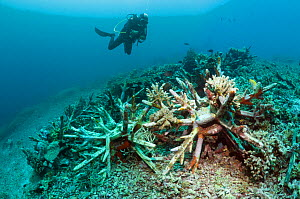 Artificial reef / EcoReef designed by Mark Erdmann, with diver. Ceramic structures placed on reef, bomb damaged in the 1970s. Bunaken National Park, North Sulawesi, Indonesia.  -  Georgette Douwma