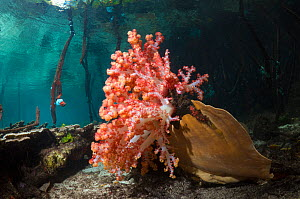 Soft coral and other invertebrates growing in mangrove swamp (Rhizophora sp.) on the edge of coral reef. Raja Ampat, Indonesia.  -  Georgette Douwma