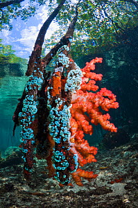 Soft coral and other invertebrates growing on mangrove roots (Rhizophora sp.) on the edge of coral reef. Raja Ampat, Indonesia.  -  Georgette Douwma