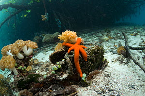 Red starfish with soft coral on border of mangrove and coral reef. Raja Ampat, Indonesia.  -  Georgette Douwma