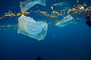 Plastic bags floating at the surface of the sea. Bunaken National Park, North Sulawesi, Indonesia.  -  Georgette Douwma