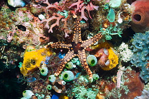 Starfish (Fromia nodosa) on coral reef with sea squirts, soft coral and sponges. Rinca, Komodo National Park, Indonesia. digital capture.  -  Georgette Douwma