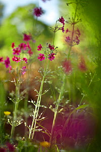 Red Campion (Silene dioica). Minterne Estate, Minterne Magna, Dorset, England, November.  -  David Noton