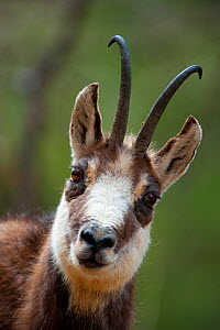 Chamois (Rupicapra rupicapra) head portrait. Gran Paradiso National Park, Alps, Italy, April.  -  Inaki Relanzon