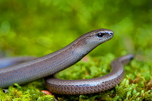Slow Worm (Anguis fragilis) on moss. Montseny Natural Park, Catalonia, Spain, May.  -  Inaki Relanzon