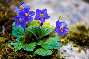 Pyrenean Violet or Ramonda (Ramonda myconi) in flower. Ordesa National Park, Pyrenees, Spain, June.  -  Inaki Relanzon
