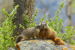 Yellow-bellied Marmot (Marmota flaviventris) young kissing its mother. Yellowstone National Park, Wyoming, USA, June.  -  George Sanker