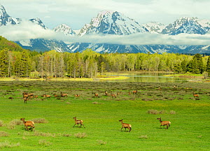 Elk / Wapiti (Cervus canadensis) herd with young on meadowland against the Grand Tetons, low clouds and the Snake River. Grand Teton National Park, Wyoming, USA, June.  -  George Sanker