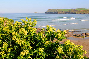 Alexanders (Smyrnium olusatrum) flowering on coastal cliff overlooking Hayle bay, with Pentire head and surfers in the background. Polzeath, Cornwall, UK, April  -  Nick Upton