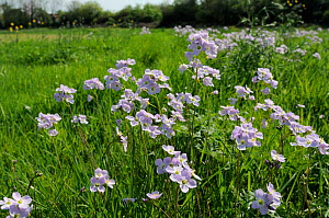 Stands of Cuckoo Flower / Lady's Smock (Cardamine pratensis) flowering in a damp meadow. Wiltshire, UK, April. - Nick Upton
