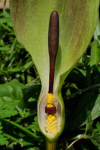 Cross section through Cuckoo Pint / Lords and Ladies / Wild Arum (Arum maculatum) spathe showing hairs that trap pollinating flies above brown male flowers above yellow female flowers. Wiltshire, UK,... - Nick Upton
