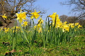 Wild Daffodils / Lent Lilies (Narcissus pseudonarcissus) beneath bare trees. Stourhead gardens, Wiltshire, UK, March.  -  Nick Upton