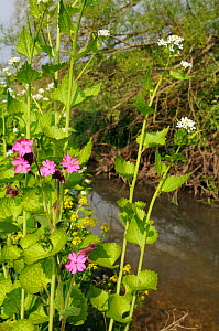Red Campion (Silene dioica) and Garlic mustard / Hedge Garlic / Jack by the hedge (Alliaria petiolata) flowering on a river bank, Wiltshire, UK, April.  -  Nick Upton