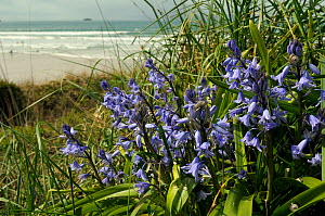 Spanish Bluebell (Hyacinthoides hispanica), an invasive species in the UK, flowering on coastal cliff with surf beach in the background. Near Polzeath, Cornwall, April.  -  Nick Upton