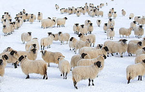 Flock of domestic sheep (Ovis aries) in snow-covered field, Cairngorms NP, Scotland, UK, March  -  Peter Cairns