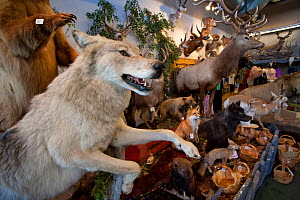 Stuffed Grey wolf (Canis lupus) as part of shop trophy animal selection, Jackson Hole, Wyoming, USA, September 2008  -  Peter Cairns