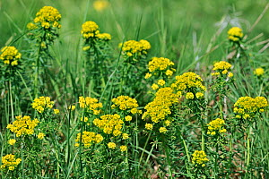 Cypress Spurge (Euphorbia cyparissias) in flower. Luxembourg, April  -  Philippe Clement