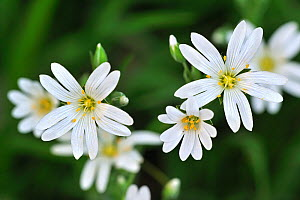 Greater Stitchwort / Addersmeat (Stellaria holostea) in flower. Luxembourg, April.  -  Philippe Clement