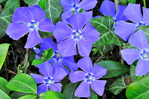 Lesser Periwinkle / Dwarf Periwinkle (Vinca minor) in flower. Luxembourg, April. - Philippe Clement