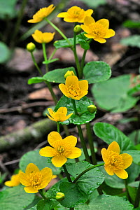 Kingcup / Marsh Marigold (Caltha palustris) in flower. Luxembourg, April.  -  Philippe Clement