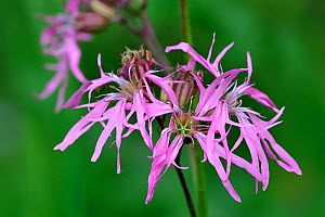 Ragged Robin (Silene flos-cuculi) in flower. Belgium, May.  -  Philippe Clement