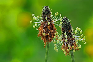 Ribwort Plantain / English Plantain / Narrowleaf plantain (Plantago lanceolata) in flower. Belgium, May.  -  Philippe Clement