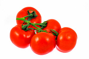 Ripe Tomatoes (Lycopersicon esculentum) on white background.  -  Philippe Clement