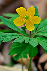 Yellow Wood Anemone / Buttercup anemone (Anemone ranunculoides) in flower. Luxembourg, April.  -  Philippe Clement