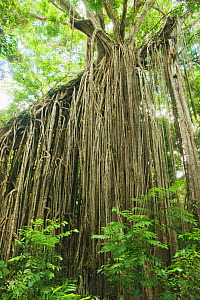 Aerial roots of Curtain fig tree (Ficus virens) Curtain Fig National Park, Yungaburra area, Atherton Tablelands, Queensland, Australia, December  -  Kevin Schafer
