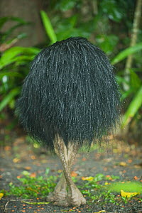 Southern / Double-wattled cassowary (Casuarius casuarius) wild, adult male rear view, Atherton Tablelands, Queensland, Australia, November  -  Kevin Schafer