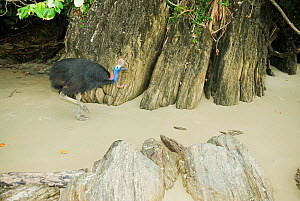 Southern / Double-wattled cassowary (Casuarius casuarius) wild, adult male on beach at night, Atherton Tablelands, Queensland, Australia, December  -  Kevin Schafer