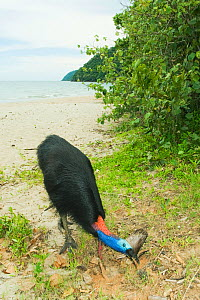 Southern / Double-wattled cassowary (Casuarius casuarius) wild, adult male feeding on beach, Moresby Range National Park, Queensland, Australia, December  -  Kevin Schafer