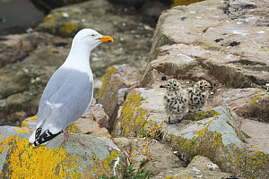 Common gull (Larus canus) with chicks on rocks, Great Saltee Island, County Wexford, Ireland, June  -  Robert Thompson