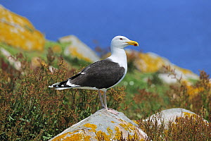 Lesser black-backed gull (Larus fuscus) perched on rock, Saltee Island, County Wexford, Republic of Ireland, June  -  Robert Thompson