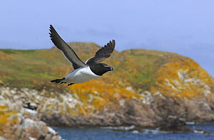 Razorbill (Alca torda) in flight, Great Saltee Island, County Wexford, Republic of Ireland, June  -  Robert Thompson