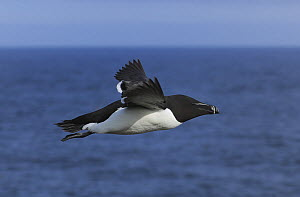Razorbill (Alca torda) in flight over sea, Great Saltee Island, County Wexford, Republic of Ireland, June  -  Robert Thompson